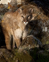 Rock Art, Mountain Lion #1